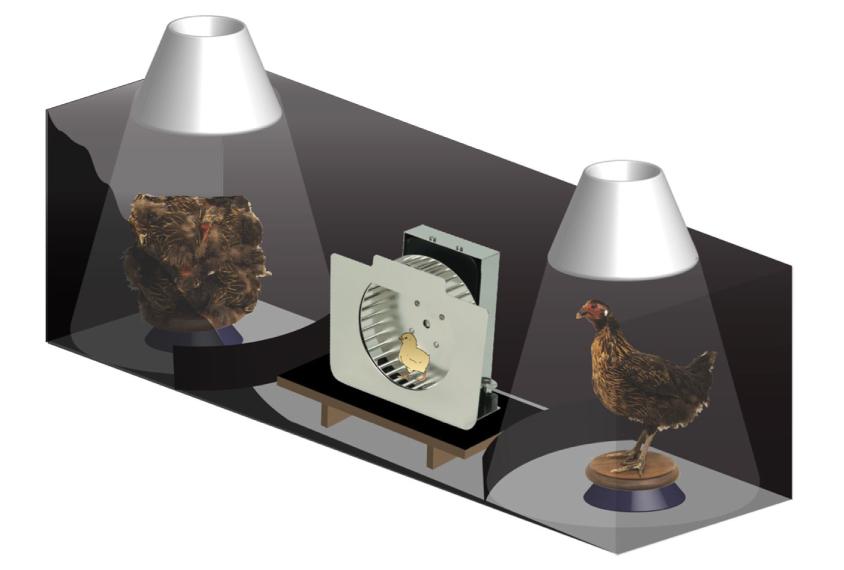 Ordinary chicks placed on a wheel choose a stuffed hen over a hen-like blob.