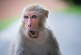 Rhesus macaque making a funny face.