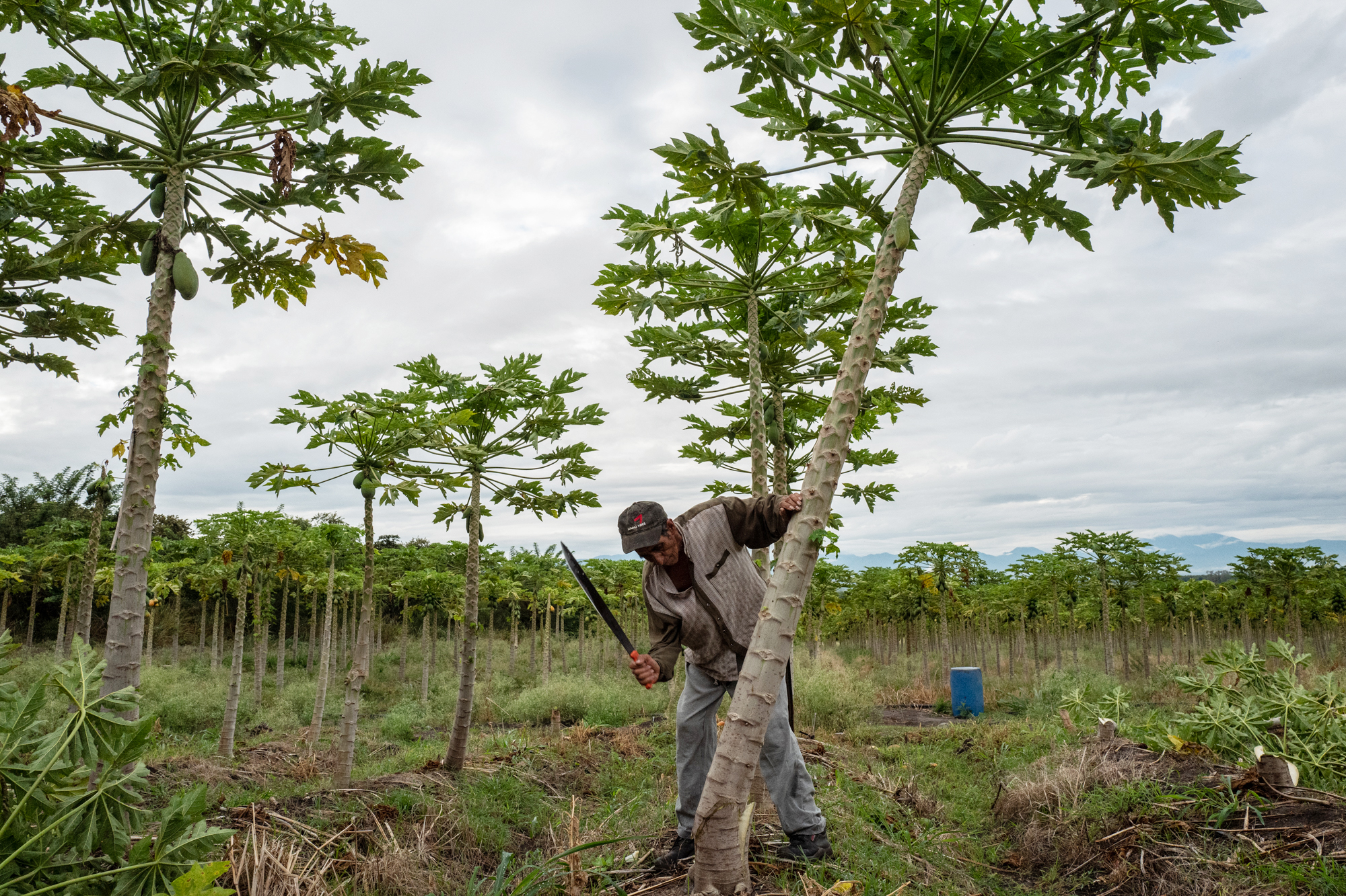 Jair Triviño cuts down a papaya tree in Ricaurte, Valle del Cauca on July 30, 2018.