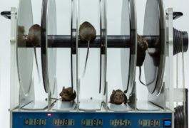 Mice in a lab test on a rotarod.