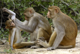 An adult rhesus macaque grooms a juvenile.