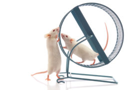 Two white mice, one on a wheel, sniff noses.