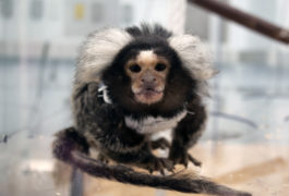 Marmoset in a clear cage in a lab.