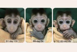 Three views of a lab monkey