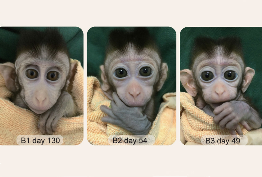 Three views of a lab monkey