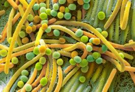 Micrograph of fecal bacteria
