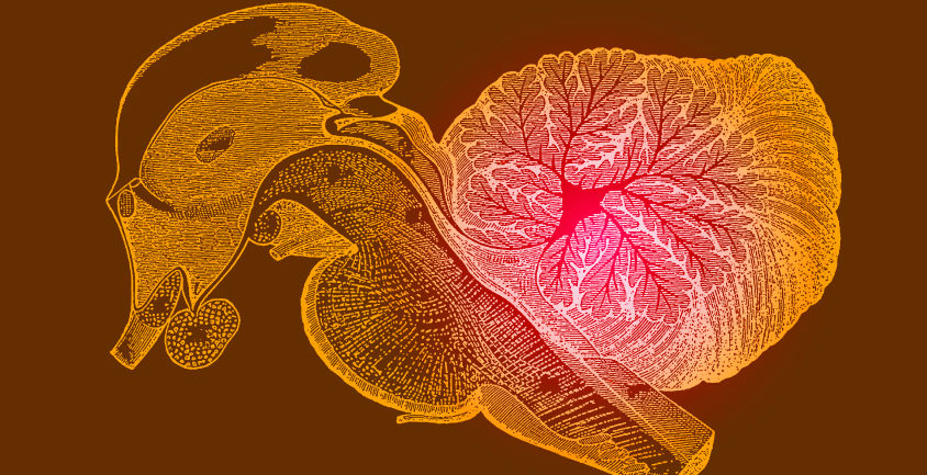 Illustration of cerebellum in human brain
