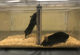 Two mice in a lab test environment