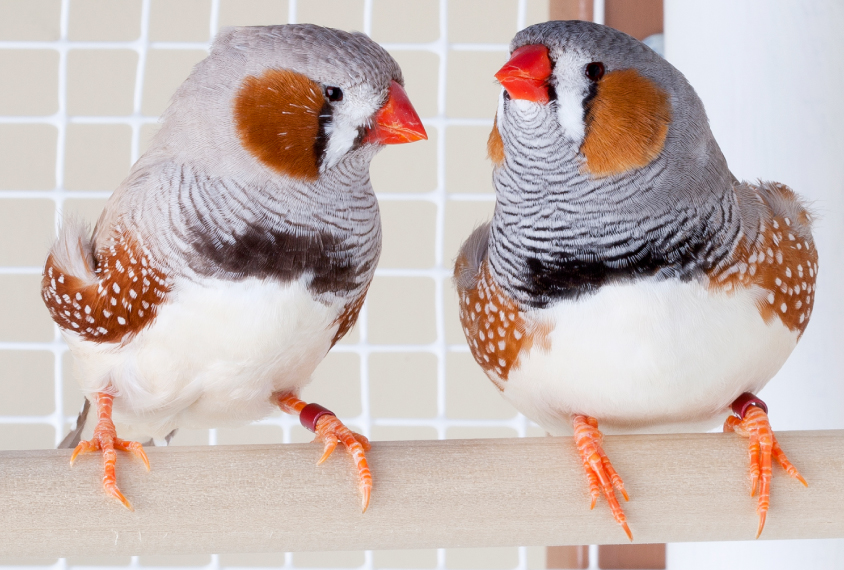 Two male finches sitting on roost in cage.