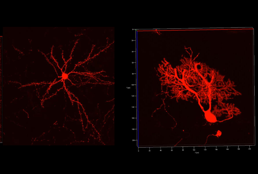 Two pairs of neurons shown in red.