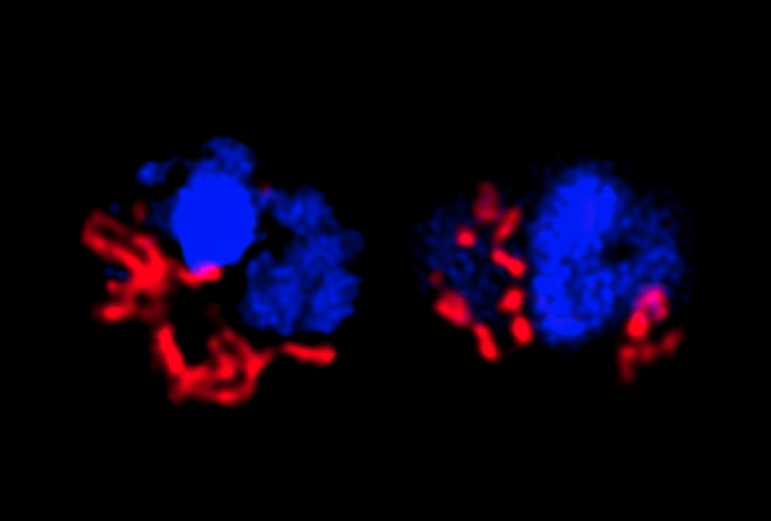 Magnified view of mitochondria in mice