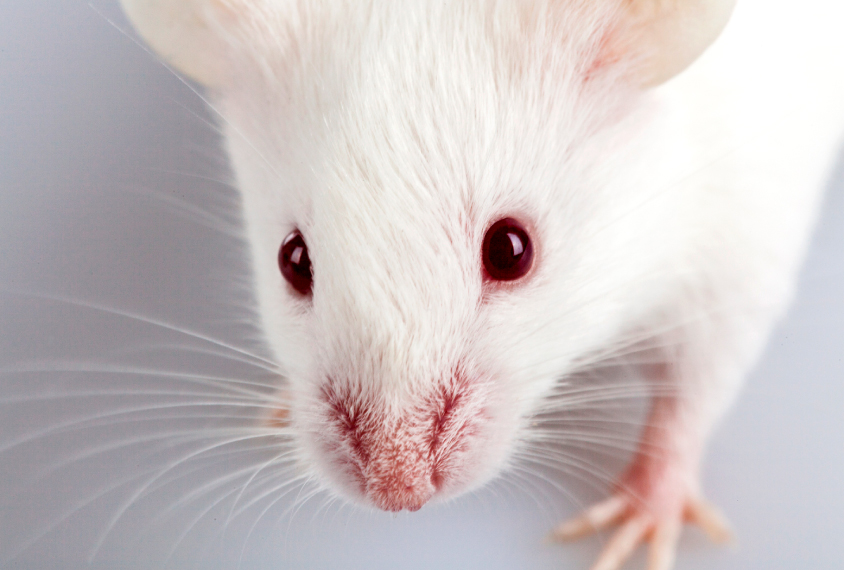Close-up of mouse face and whiskers.