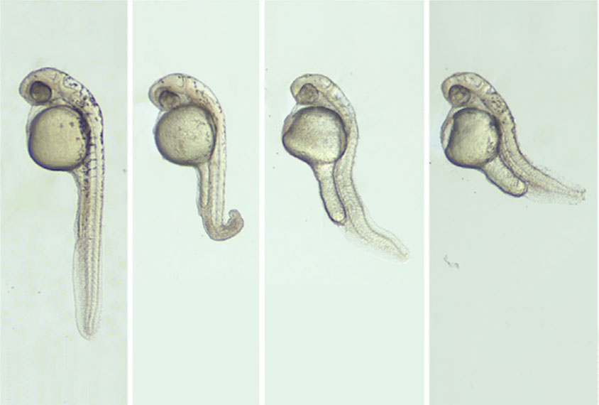 Zebrafish embryos with various deformities.