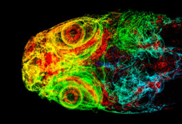 Colorful CT scan of a zebrafish head.