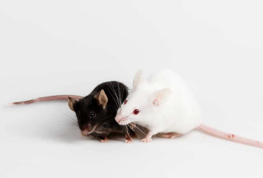 two mice interacting.