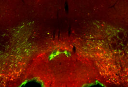 dopamine neurons in mice show up green in an area of the brain associated with social reward.