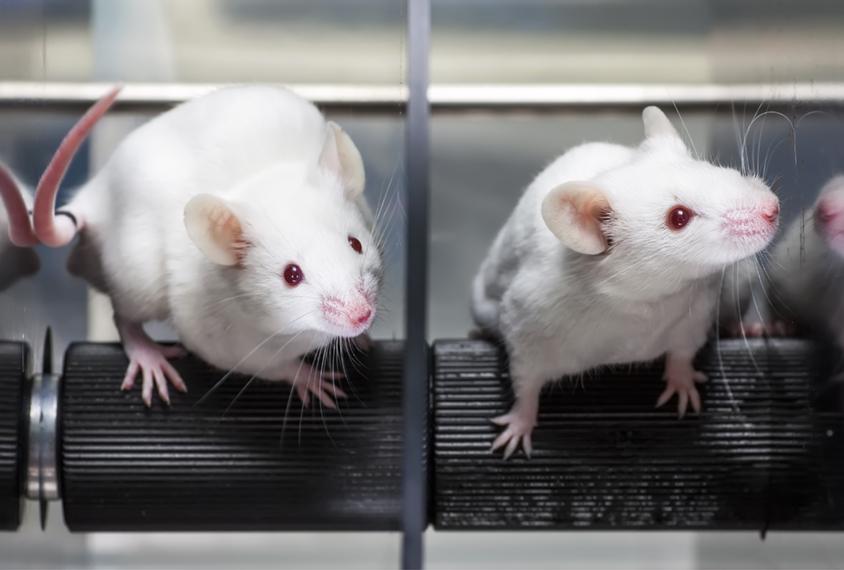 Two mice in a rotarod machine