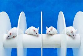 Four white mice on a rotarod, blue background.