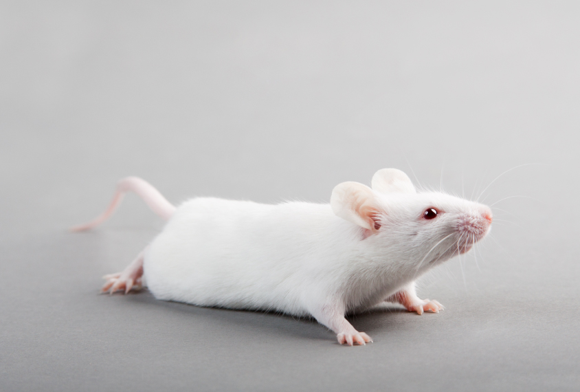 Mouse on gray background looks at something out of frame.