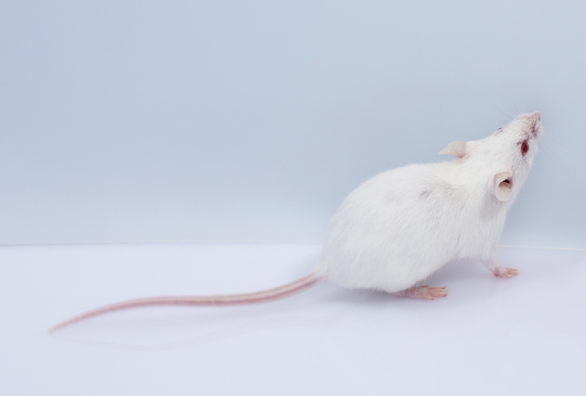 white mouse looking at something out of frame