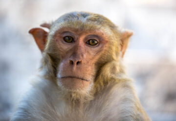 A lone Rhesus macaque looks into the camera