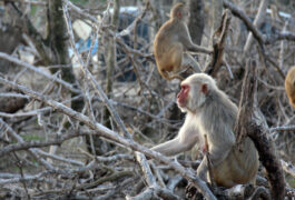 Macaques on dead trees on Cayo Santiago.