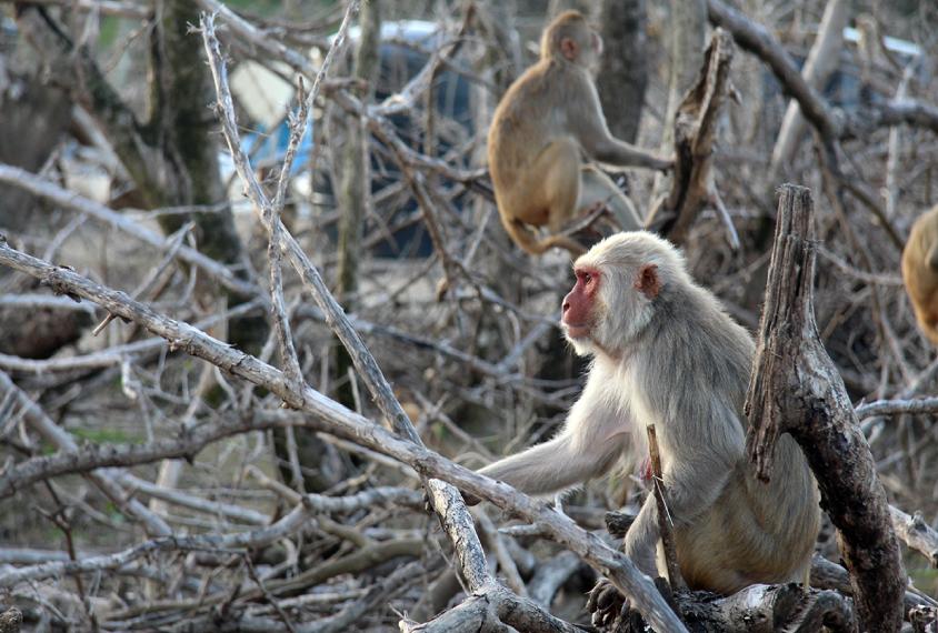 圣地亚哥卡约岛死树上的猕猴。