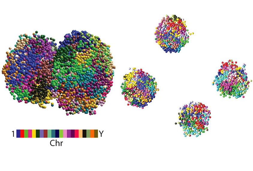 single celled zygote seen as a colorful cluster of dots, next to a four cell embryo, visualized in the same way.
