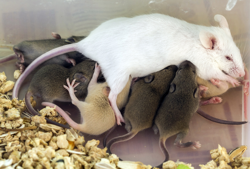 Female mouse with its litter of pups.