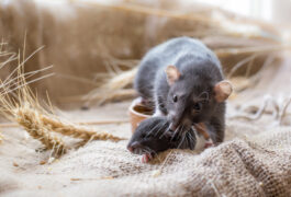 Brown rat mother and pup in rustic setting with burlap and wheat.