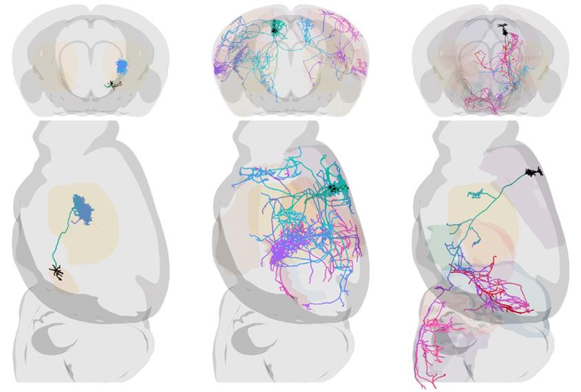 Mouse brains in transparent 3D views.