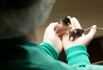 Brown lab mice being handled by researchers.