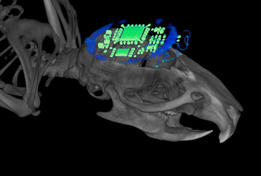 wireless optogenetic device glowing green on mouse brain.