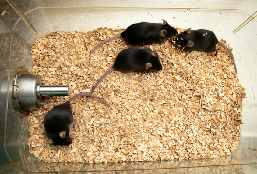 Four brown lab mice in a cage, top-down view, with one mouse away from the group.
