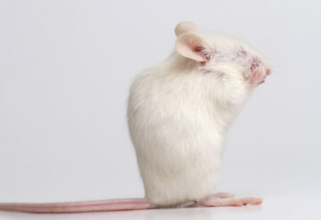 white lab mouse grooming.